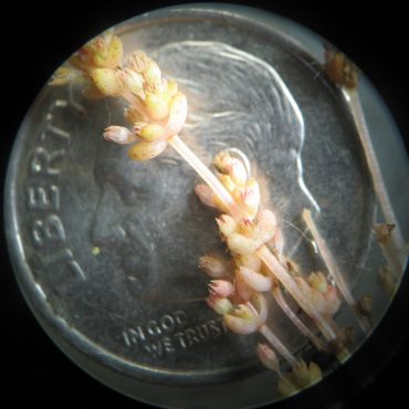 pink pygmy stonecrop compared to dime