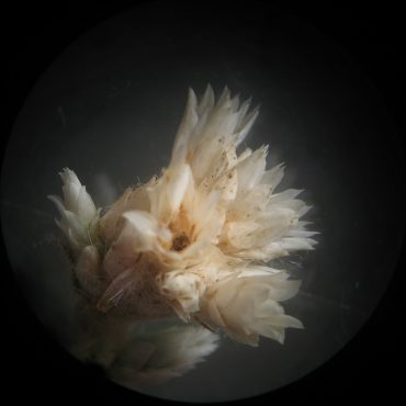 microscopic photo of peachy-cream phyllaries that resemble petals
