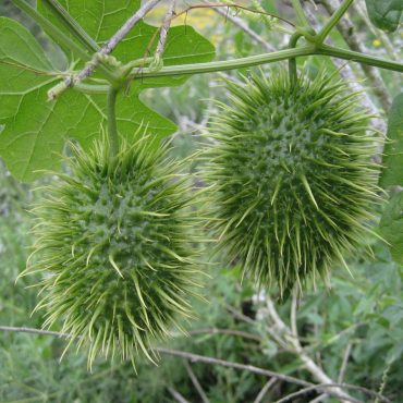 Two spiked coated balls