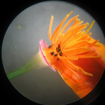 microscopic view of orange flower and pollen holders