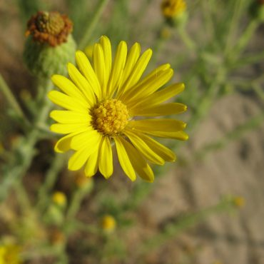 yellow flower with many small petals