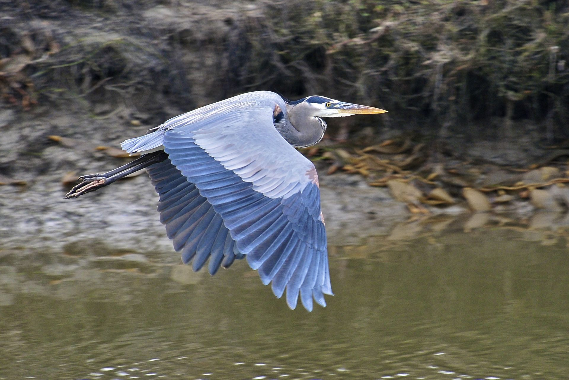 Great Blue Heron flying through wetlands of San Elijo Lagoon