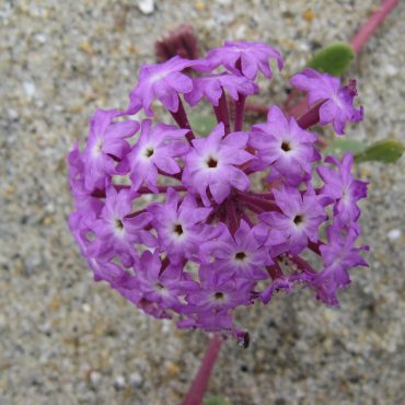 close up cluster of small purple beach sand verbena on single red stem