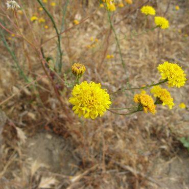 bright yellow pincushion flowers growing in brush