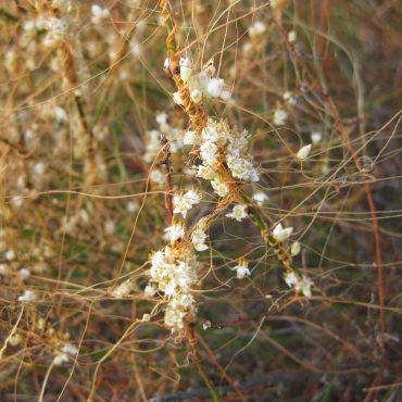 small white flowers dotting the branches of the orange California Dodder
