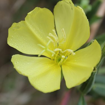 close up of yellow flower with 4 petals