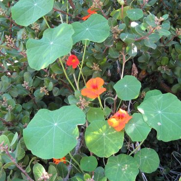 orange and red nasturtium flowers and flat round green leaves