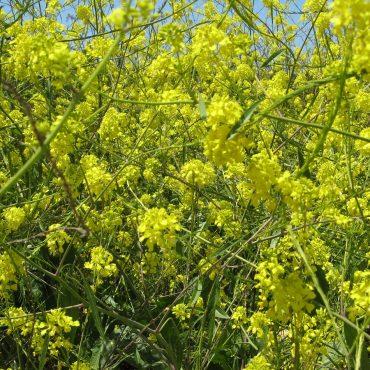 Cluster of yellow Black Mustard flowers off the Santa Inez trailhead