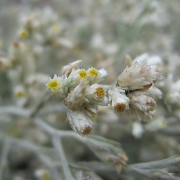 small cluster of blooming flower heads of the Fragrant Everlasting