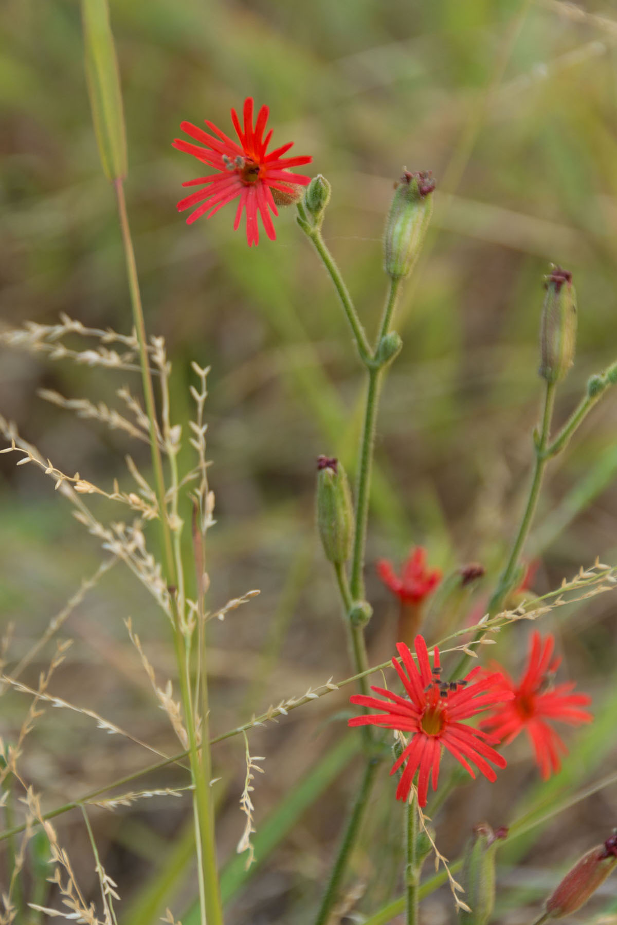 red flower with long skinny petals
