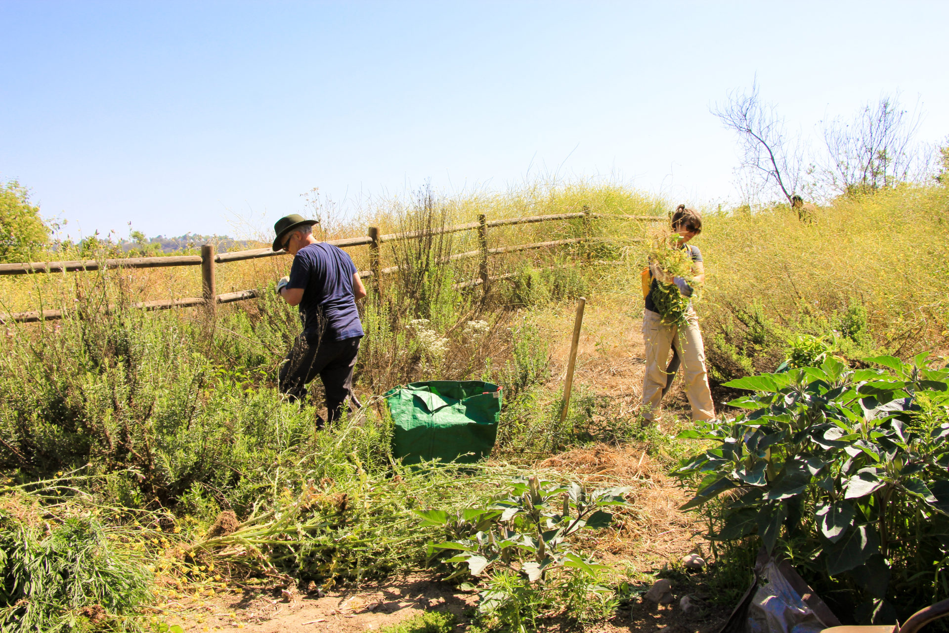 People pulling invasive plants