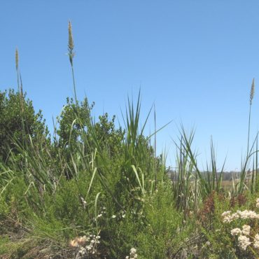 Giant wild rye often towers above surrounding begetation