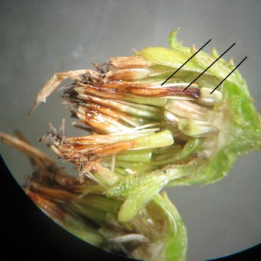 section of seed head