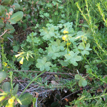 plant with clover-like leaves and yellow flowers